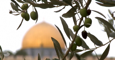 Início da colheita da oliveira na Terra Santa